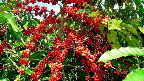 Rwanda has endless rolling hills dotted with lush trees, home to mountain gorillas, and small coffee farms. Rwanda's Premium Coffee Places High Prices on Global ...