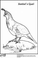 Quail Coloring Pages Gambel Colors Egg Library Clipart Chicken Popular Team sketch template