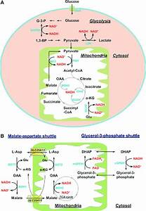 Metabolic Sources Of Nad H  And Cytosolic  Mitochondrial