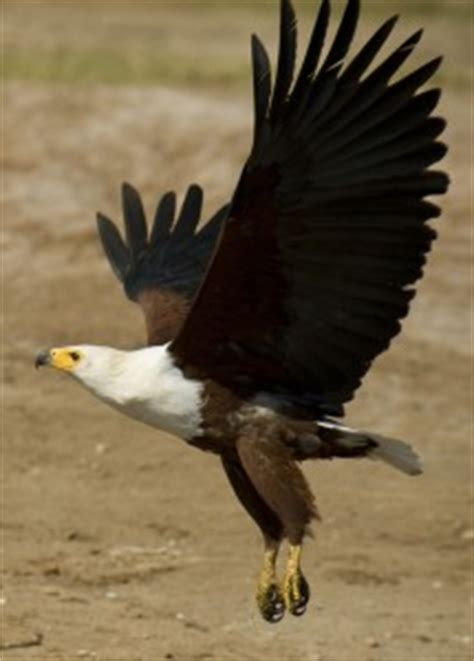 types  eagles   eagles eat   eagles