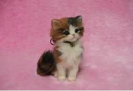 Back   Gallery For   F...Fluffy Dilute Calico Cat