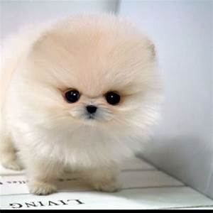 Such a cute teacup Pomeranian!
