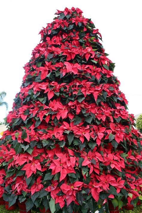 poinsettia tree classics flowers blog