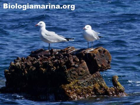 Gabbiano Corso - larus audouinii gabbiano corso biologia marina