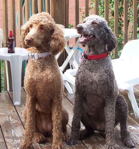 pin  jennifer herron   puppy poodle haircut