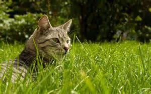 cat grass cat in the grass wallpaper 2891