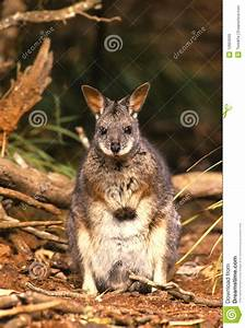 Cute Wallaby Royalty Free Stock Images - Image: 12863609