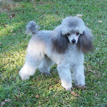 silver toy poodle puppy pets poodle puppies  sale