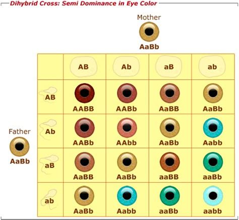 punnett square eye color biotic pressures