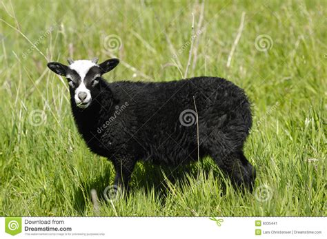 Black Stock Images Black Sheep Stock Image Image 6035441