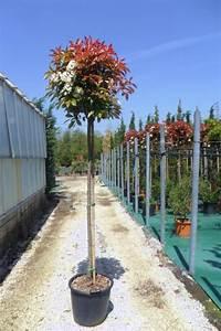 Red Robin Hochstamm : zini piante vivai piante pepinieres baumschuler nurseries ~ Michelbontemps.com Haus und Dekorationen