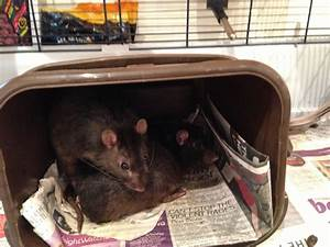 2 Dumbo Rats and Cage For Sale | Bristol, Bristol | Pets4Homes
