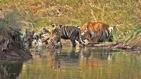 Beautiful Tigress With Four Cubs The Waterbody Youtube