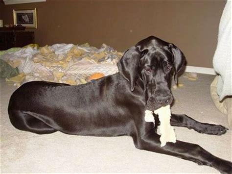dog ripping   mattress