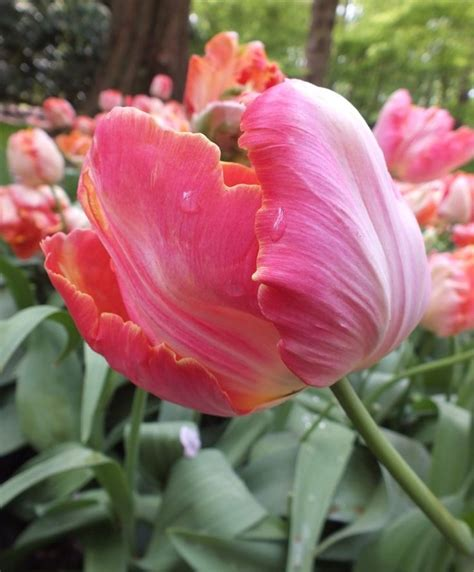1000 ideas about planting tulips on planting