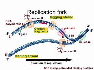 What enzymes unzips DNA and breaks the hydrogen bonds ...