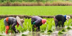 FSI | FSE - Impacts of ENSO Events on Chinese Rice ...