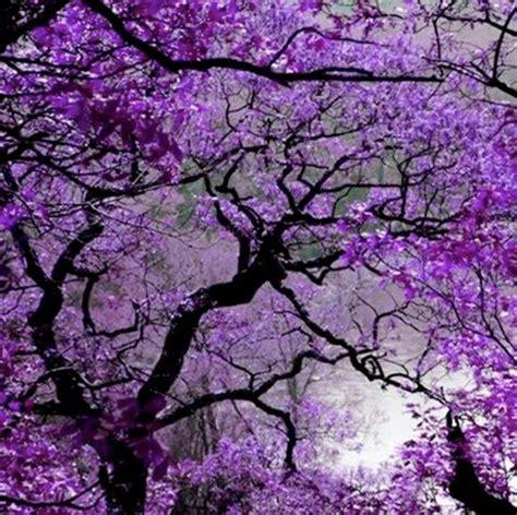 89 best images about jacaranda trees on pinterest sydney