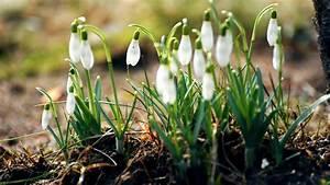 schneeglöckchen weißen blüten 1920x1200 hd