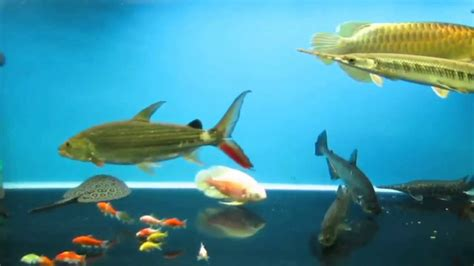 types  decorative freshwater fish  charming
