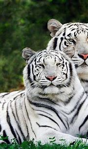 White Tiger   The Life of Animals