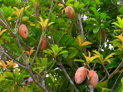 sapodilla alano   oval shaped fruit