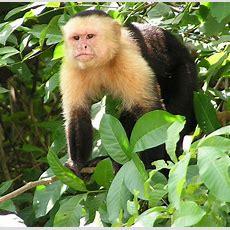 Capuchin Monkey Wikipedia