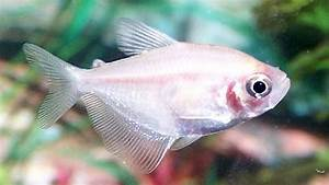 White Skirt Tetra White Skirt Tetras