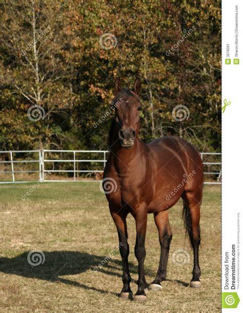 arabian stallion preview