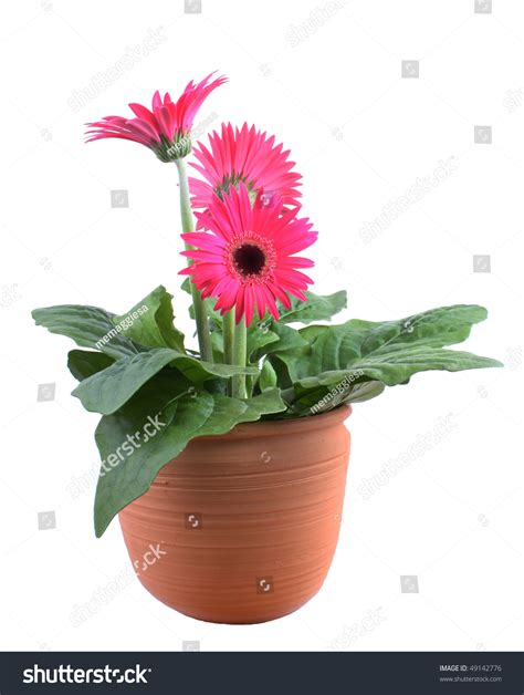 gerbera in pots pink gerbera pot plant stock photo 49142776