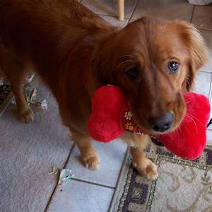Dark red golden retriever puppy | animals | Pinterest