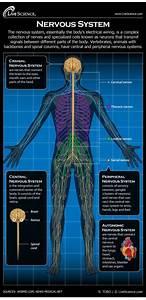Human Nervous System - Diagram