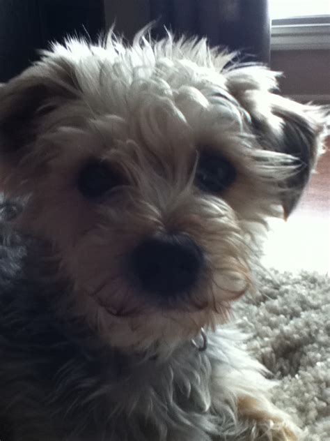 morkies images max  morkie hd wallpaper  background