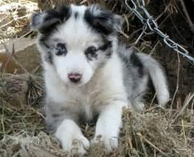 koolie dog info history temperament training puppy