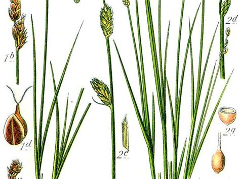 Carex heleonastes