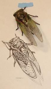 Cicada Shell Scientific Illustration