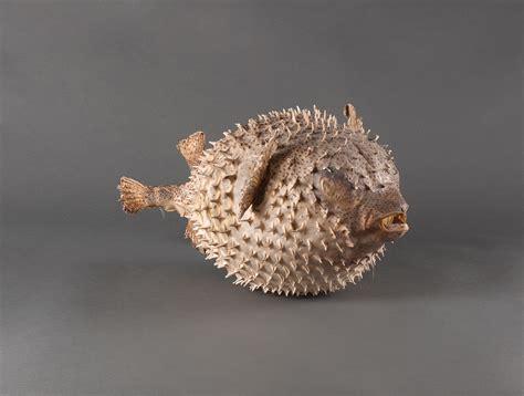 poisson lune soubrier louer objets deco coquillage xxe