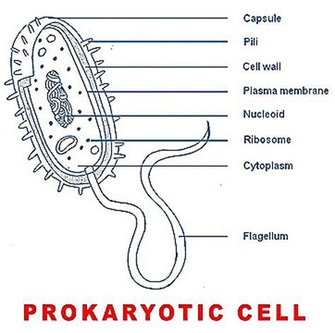 Basic Structure Prokaryotic Cell