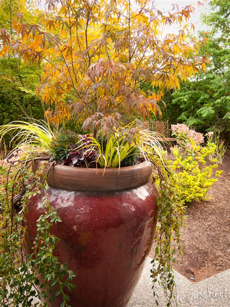 best japanese maples for containers fall containers boot c