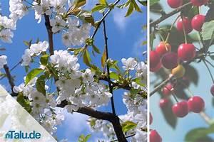 Kirschbaum Richtig Schneiden : kirschbaum richtig schneiden anleitung f r kirschbaumschnitt ~ Frokenaadalensverden.com Haus und Dekorationen