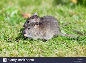 Ratte Im Haus : ratten im garten vertreiben 12 sch nbild of ratten im garten erkennen ratten im haus toilette ~ Buech-reservation.com Haus und Dekorationen