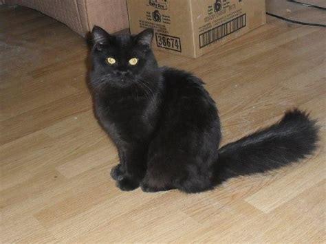 chat persan noir ma des chats page 10