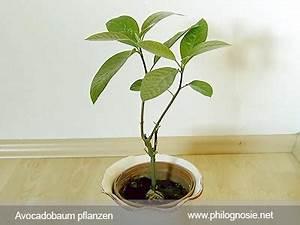 Avocado Pflanze Richtig Schneiden : avocado pflanzen avocadobaum selber ziehen philognosie ~ Lizthompson.info Haus und Dekorationen