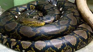 Snake Animal Anaconda