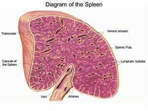 Spleen Histology  Cross Section Or Longitudinal Section