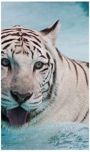 White Tiger - Animals Wallpaper (13128844) - Fanpop