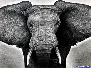 How to Draw an Elephant Head, African Elephant, Step by ...