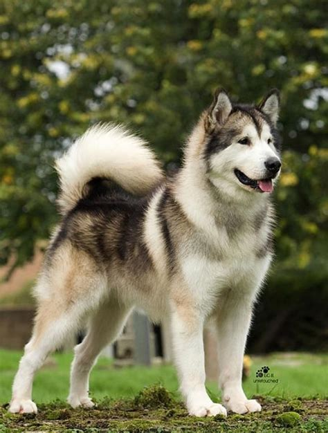 1331 Best Images About Malamutes And Huskies On Pinterest