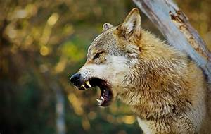 Angry Wolf Wallpapers Backgrounds