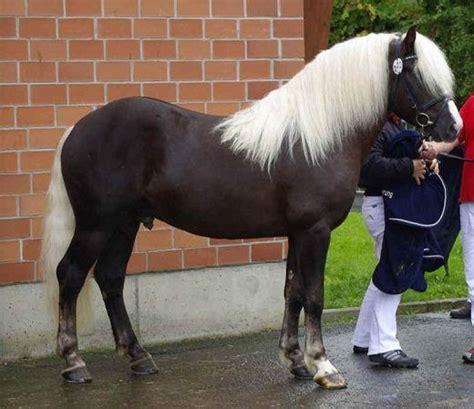 horse forest schwarzwaelder horses rare fuchs breeds most melos german breed germany hengst kaltblut behind unique koerung wilderer frank